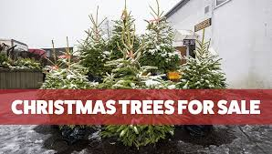 real christmas trees for sale perth christmas trees for sale from giraffe trading nordmann fir