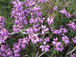 plants native to ireland flora galway beekeepers