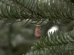 Pacific Northwest Christmas Tree Association - 7 best noble fir christmas trees images on pinterest firs