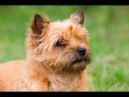 brindle cairn haircut grooming guide cairn terrier pet trim pro groomer youtube