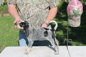 6 month old bluetick coonhound weight view ad bluetick coonhound puppy for sale texas college station
