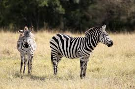 what do zebras eat your guess may be wrong