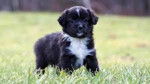 8 week old mini australian shepherd november 2010 mini aussie puppies u2014 breezemore