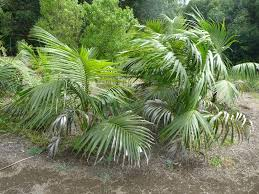 native plants tasmania australian native ferns palms and cycads gardening with angus