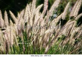 grass plumes stock photos grass plumes stock images alamy