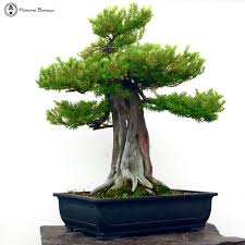 japanese yew large specimen bonsai tree herons bonsai