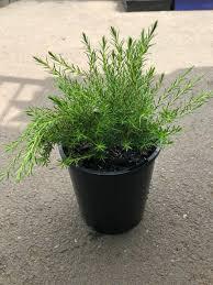 sweet viburnum 200mm pot viburnum dwarf diosma green westlake nursery