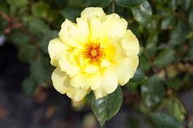Very Fragrant Plants Roses