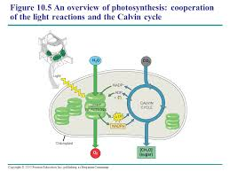 The Light Reactions Of Photosynthesis Use And Produce Chapter 10 Photosynthesis Ppt Download
