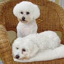 bichon frise dog breeders bichon frise what u0027s good about u0027em what u0027s bad about u0027em