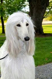 afghan hound speed 186 best images about like fulanita on pinterest