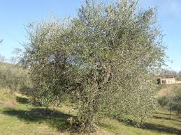 le cretaie tuscany adopt olive tree 64 suziesyard organic