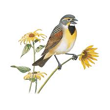 6 dickcissel bird drawings image
