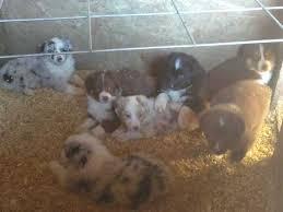australian shepherd california australian shepherd puppies for sale