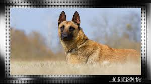 belgian shepherd video belgian shepherd wallpaper android apps on google play