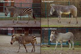 why do zebras have stripes not for camo scientists say biology
