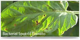 Diseases Of Tomato Plants - rots u0026 spots backyard farmer university of nebraska u2013lincoln