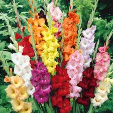 gladiolus flower buy gladiolus mix color bulbs online at nursery live best