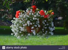 red and white flowers in a hanging planter in the garden stock