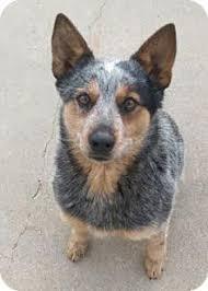 boxer dog utah american pit bull terrier dog for adoption in ogden ut adn