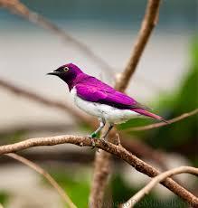 colour purple wb34 tropical bird slides img 4927 jpg