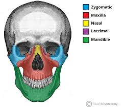 Parts Of Ethmoid Bone Bones Of The Skull Structure Fractures Teachmeanatomy