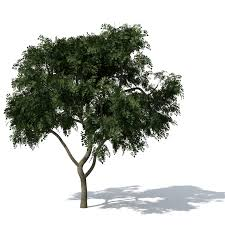 Curries Home Decor Xfrog Trees Curry Leaf Tree Loversiq