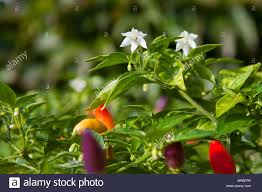 fruit and flowers chilii capsicum plants showing fruit and flowers stock