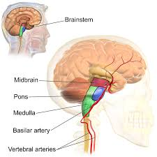 Which Part Of The Brain Consists Of Two Hemispheres Basilar Artery Wikipedia
