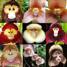 monkey orchids 20pcs monkey orchid flower seeds home plant seeds bonsai
