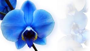 Blue Orchids The Blue Orchid Health Sanctuary