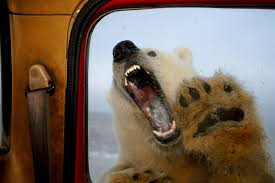 polar bear attacks on people set to rise as climate changes new
