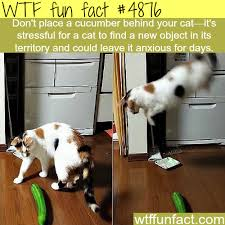 Cat Facts Meme - why you shouldn t place a cucumber behind your cat wtf fun facts