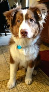 australian shepherd 11 weeks old best 25 red tri australian shepherd ideas on pinterest aussie