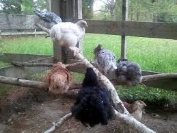 adding to an established flock integrating new pullets or