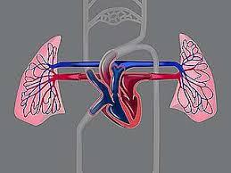 human cardiovascular system anatomy britannica com