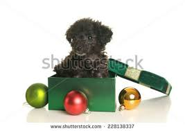 black poodle stock images royalty free images vectors