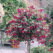 Patio Tree Roses by Fuchsia Tree I Sold One In All Cherry Red Yesterday And I Really