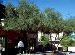 european olive tree on the tree guide at arborday org