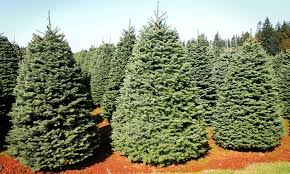 noble fir trees great west trees groupon
