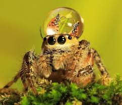 fashionable jumping spiders is that spider wearing something