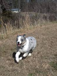 australian shepherd joint problems australian shepherd breed information history health pictures