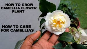 camellia flowers how to grow camellia flower plant care and tips