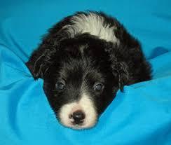 mini australian shepherd 7 weeks miniature australian shepherd puppy for sale in hilliard oh adn