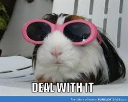Guinea Pig Meme - 132 best guinea pig memes humor images on pinterest guinea pigs