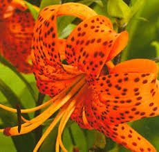 Lily Flowers Tiger Lily Flowers Facts And Information Orchid Flowers