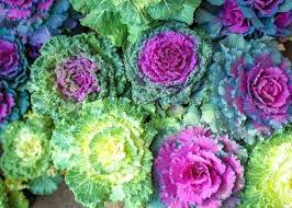 flowering kale plant ornamental kale and cabbage the home depots