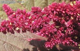 attractive artistic and amazingly adaptable amaranthus in the