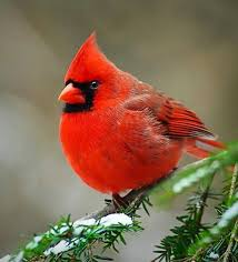 West Virginia birds images 124 best state birds and flowers images flowers jpg