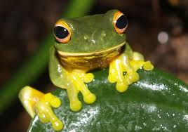 crafts center to host exhibit on world u0027s u0027disappearing frogs